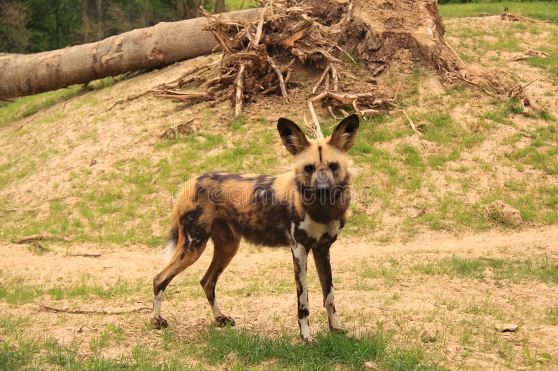 African painted dog stock image