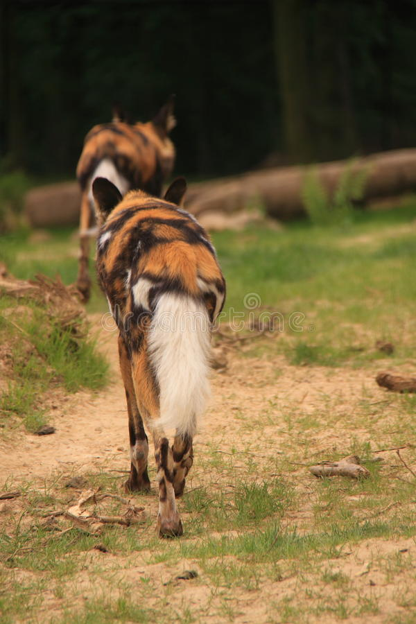 Download African painted dogs stock image. Image of lycaon, sand - 72133611