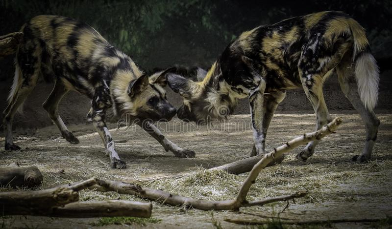 African Painted Dogs. Close up details of wild dog of Africa royalty free stock images