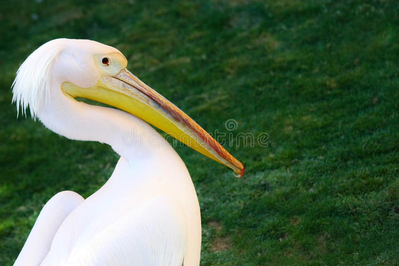 African Pelican royalty free stock photo