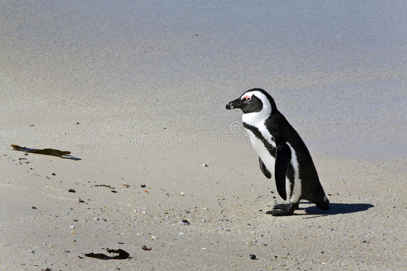 Download African penguin stock photo. Image of africa, sand, nature - 12500620