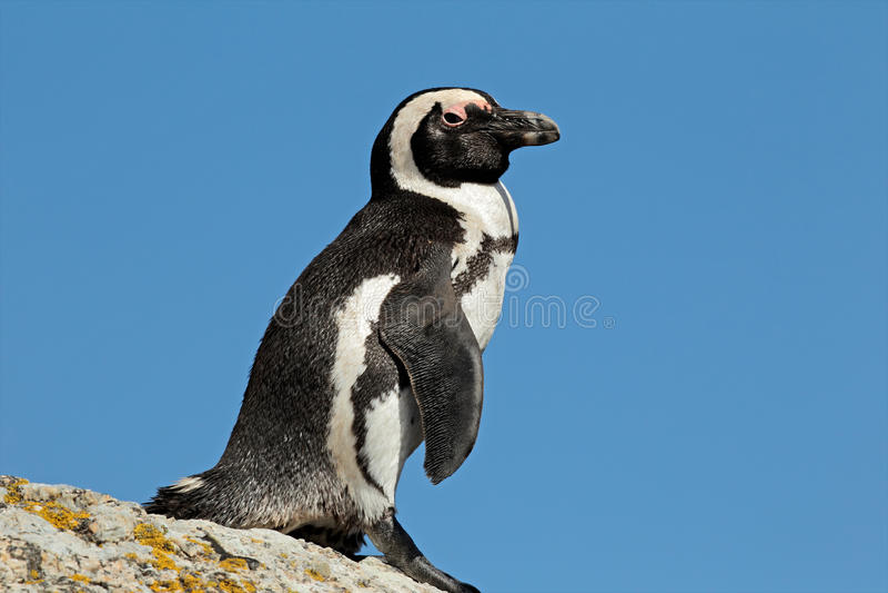 Download African penguin stock image. Image of horizontal, water - 18535069