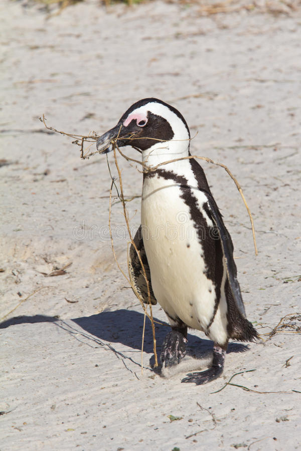 Download African Penguin Carrying Nesting Material Stock Image - Image of collect, beach: 26613019
