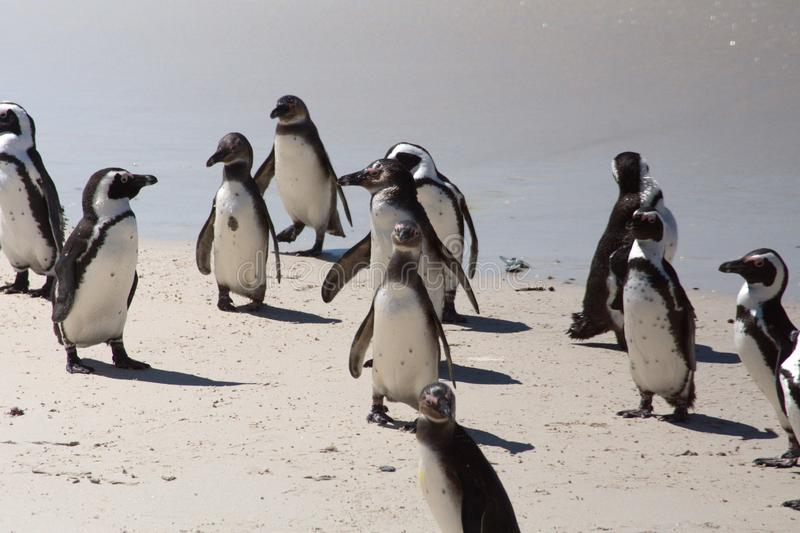 African penguin colony stock images