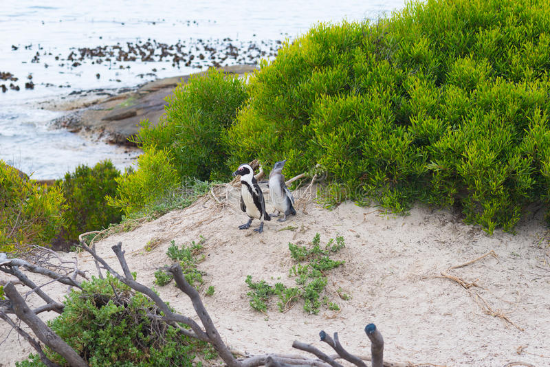 The African Penguin colony royalty free stock photos