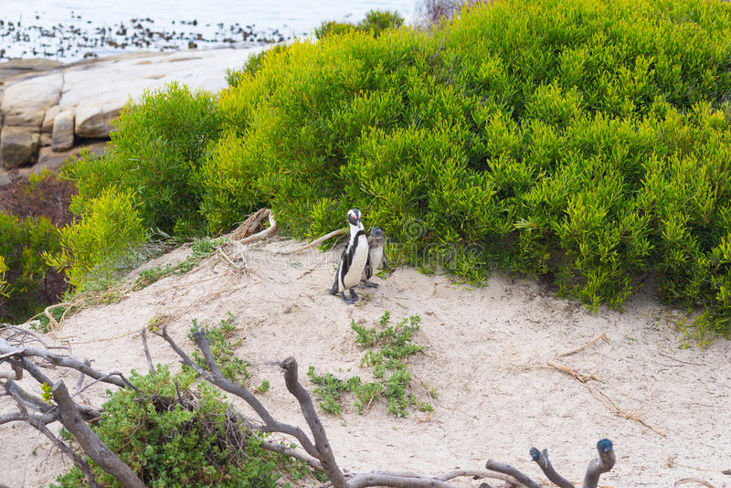 The African Penguin colony on Cape Peninsula at Boulders Beach, Simon`s Town, Western Cape Province, Cape Town district, South Af royalty free stock photography