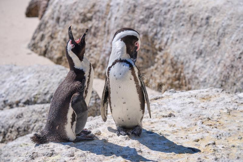 African Penguin colony royalty free stock image