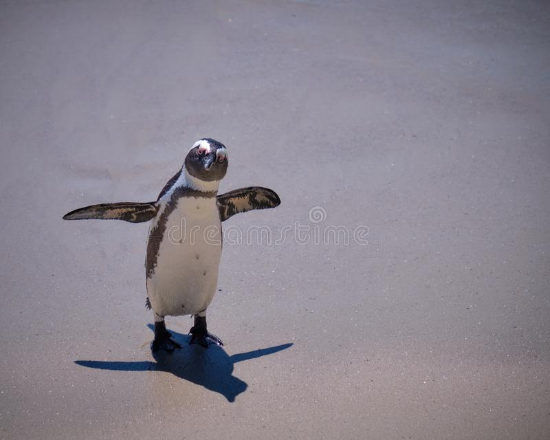 African Penguin colony royalty free stock photos