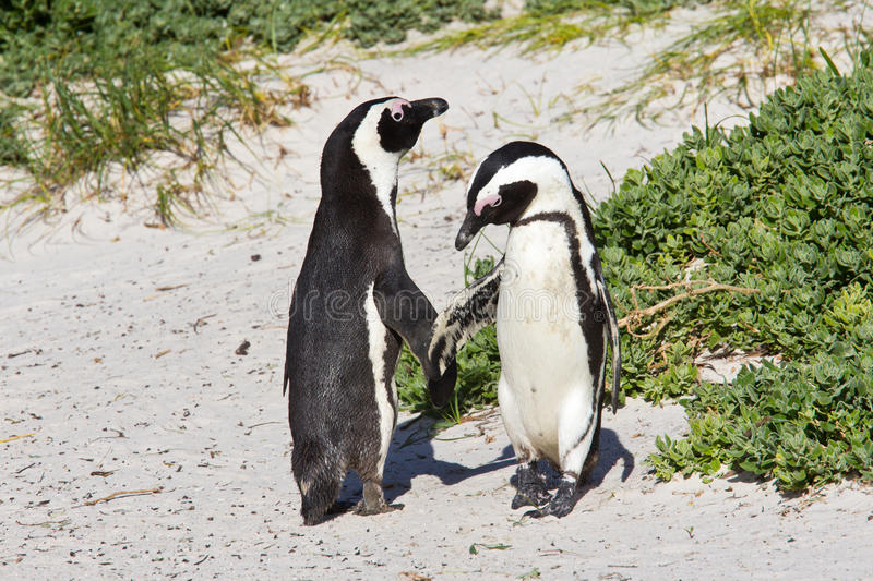 Download African penguin dance stock photo. Image of town, ritual - 26613022