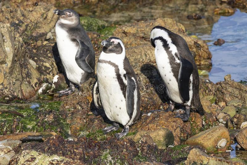 African Penguin family, Spheniscus demersus, at Stony Point Nature Reserve, Bettys Bay, Overberg, South Africa. African Penguin family with adults and 6 month royalty free stock photos