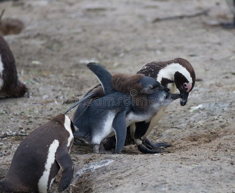 African penguin family: mother with two new born babies chickes. Feeding chickers. African penguin family: mother with two new born babies chickes royalty free stock image