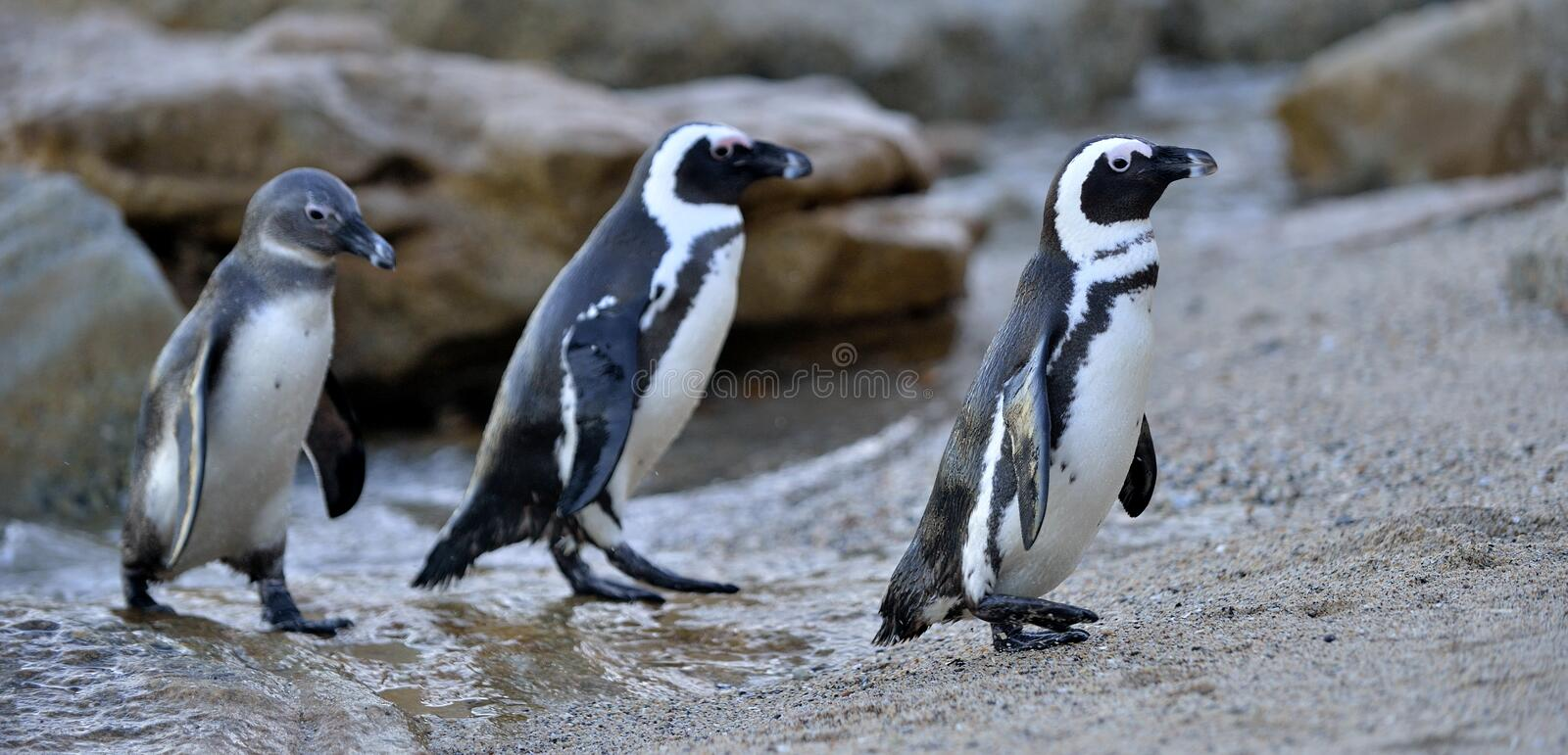 African penguin spheniscus demersus at the Boulders colony. stock photos