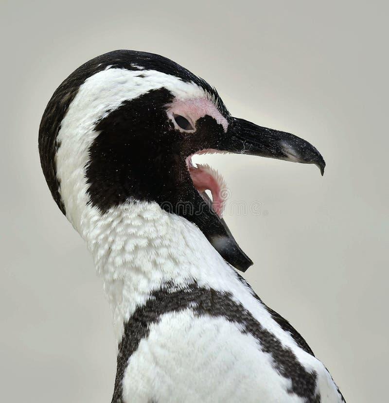 African Penguin (spheniscus Demersus) With Open Beak Stock Photo ...