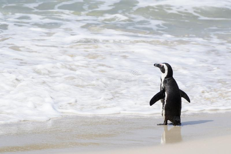 African penguin walking on the beach towards ocean stock photo