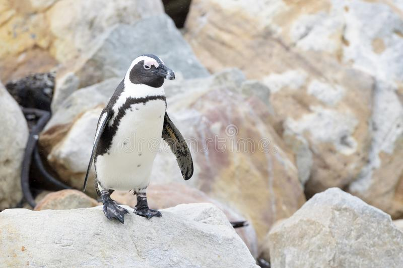 African penguin walking on rocks royalty free stock photography