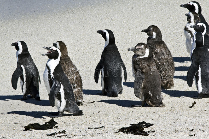 Download African penguins stock photo. Image of demersus, sand - 12500580