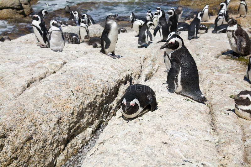 Download African Penguins Royalty Free Stock Photography - Image: 15142307