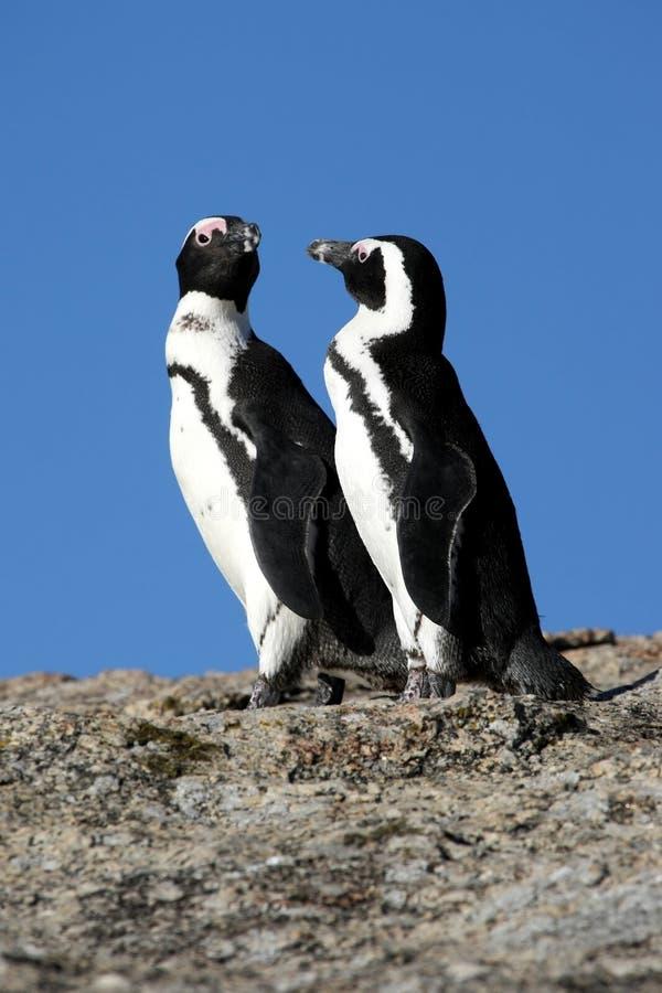 Download African Penguins stock photo. Image of avian, spheniscus - 16140978