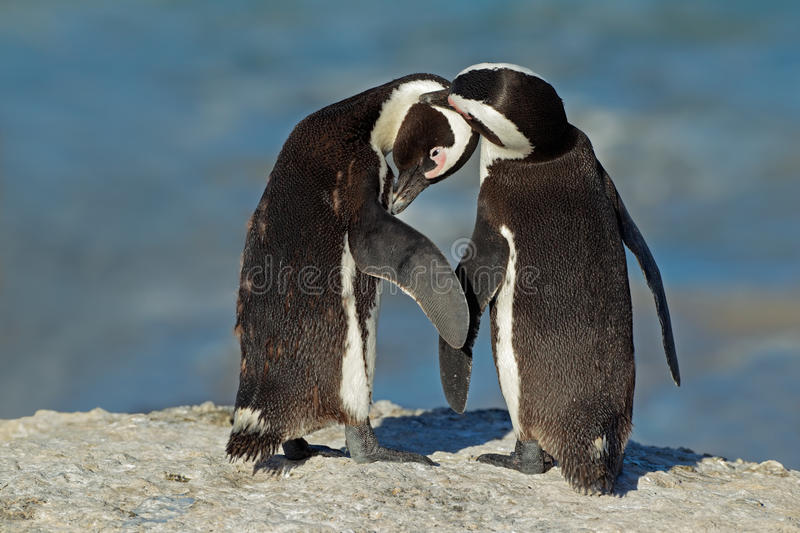 Download African Penguins Stock Photos - Image: 25198293