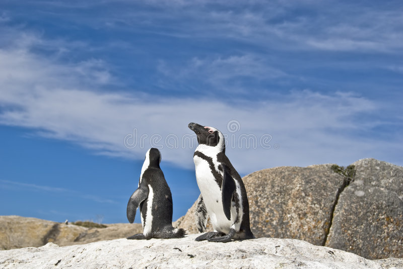 Download African penguins stock image. Image of rock, demersus - 4602929