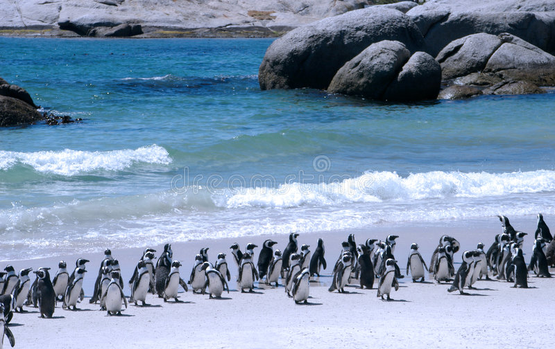 African penguins. Endangered African penguins on False Bay's Boulders Beach in Simon's Town, Western Cape, South Africa