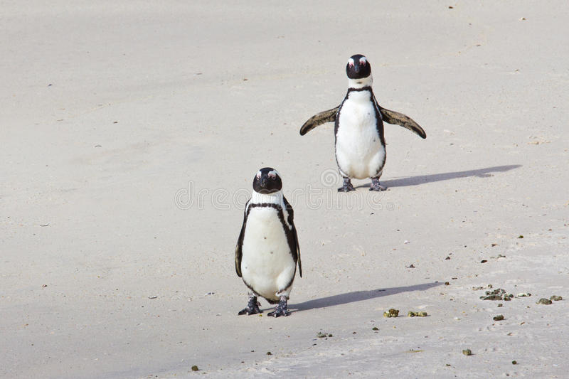 Download African Penguins On Beach Stock Images - Image: 26613004