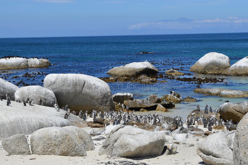 African penguins on the beach stock photography