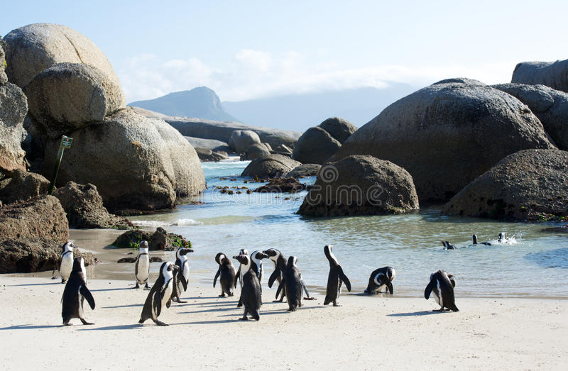 African Penguins Boulder's Beach. Colony of african penguins at Boulder's Beach near Cape Town royalty free stock image