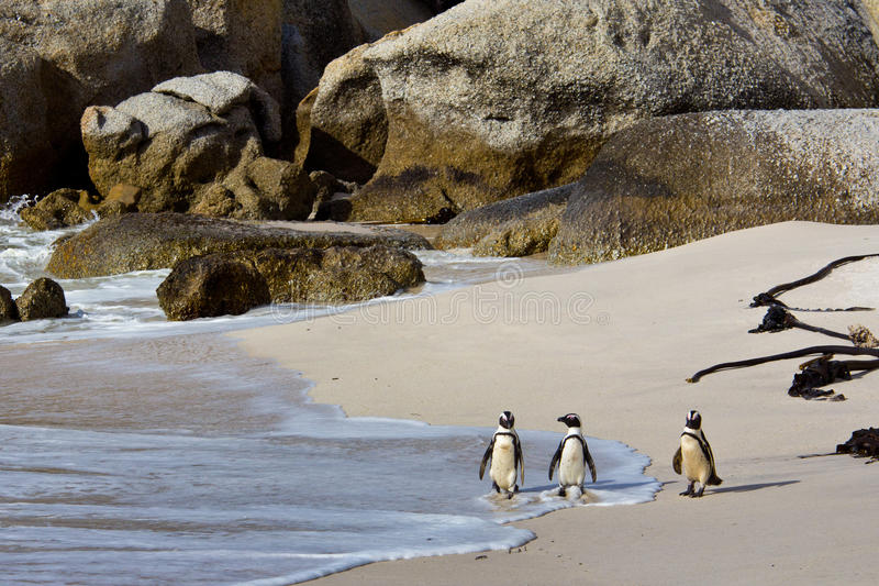 Download African Penguins On Boulders Beach Royalty Free Stock Images - Image: 26613009