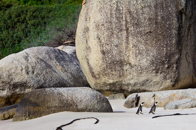 Download African Penguins On Boulders Beach Stock Photo - Image: 26613014