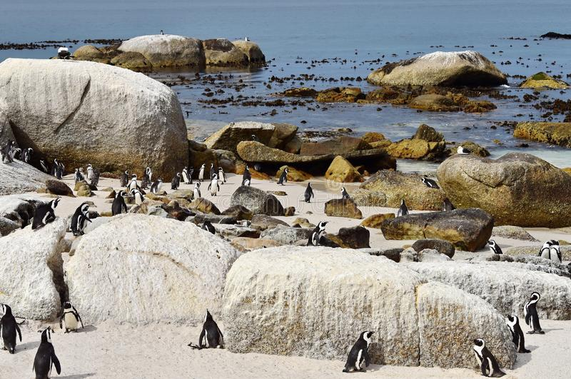 African Penguins at the Boulders Penguin Colony in Simonstown South africa. royalty free stock photography