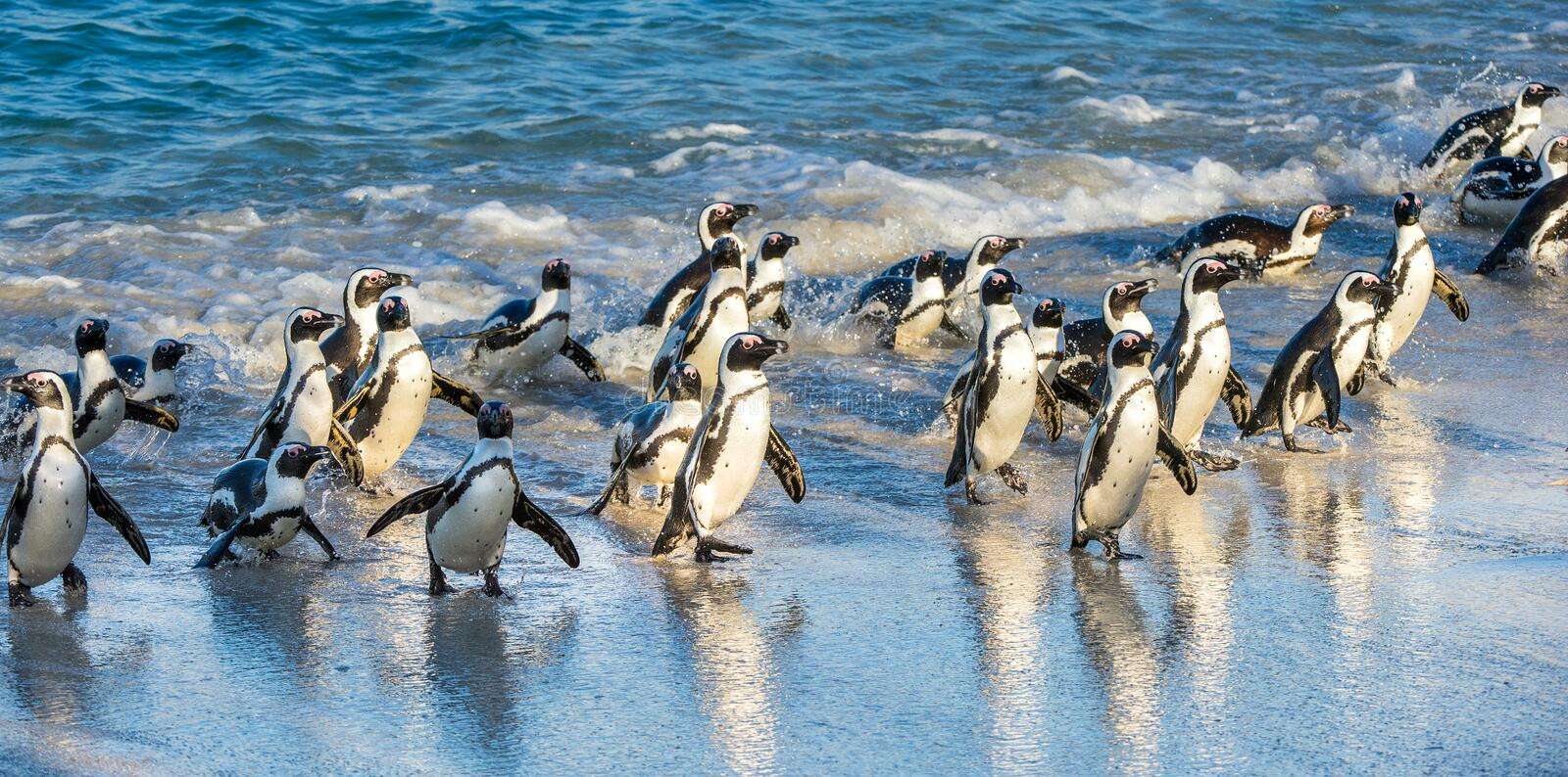 African penguins walk out of the ocean on the sandy beach. African penguin Spheniscus demersus also known as the pengui stock photos