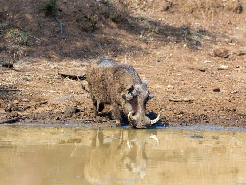 African pig Warthog in South Africa safari. African pig Warthog on waterhole in Pilanesberg game reserve, South Africa safari wildlife stock photo