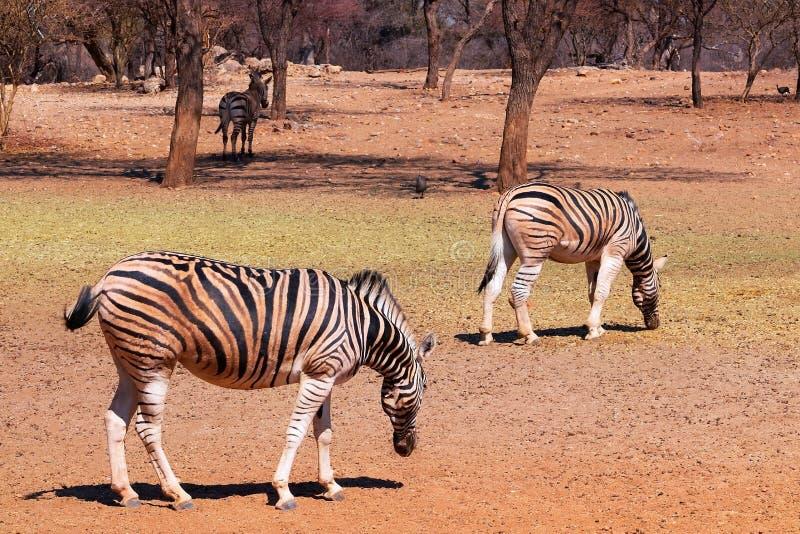 African plains zebras on the dry yellow savannah grasslands. royalty free stock photos