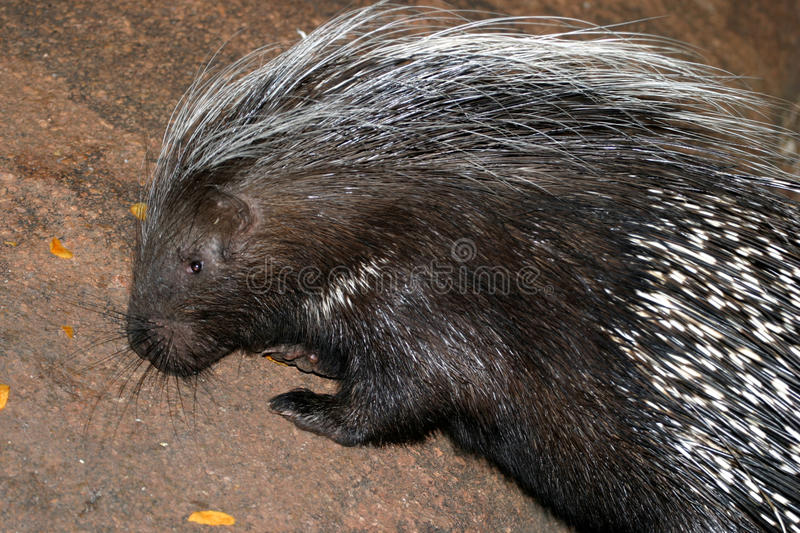 African porcupine. Nocturnal feeding at night stock images