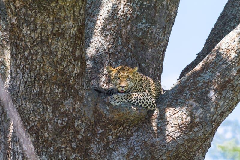 African predators. Leopard. Serengeti. African predators. Leopard on the tree. Serengeti, Tanzania royalty free stock photo