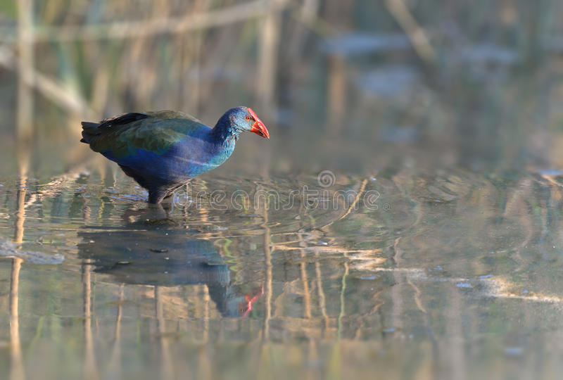 African Purple swamp hen. In water royalty free stock photography