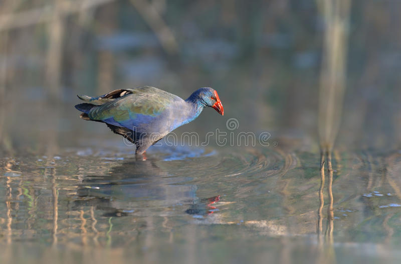 African Purple swamp hen. In the water royalty free stock photo
