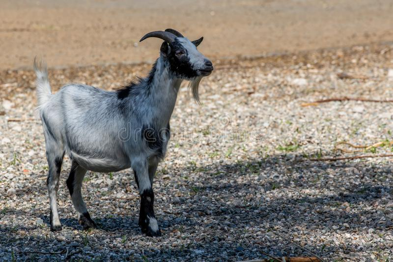 African pygmy goat. The African pygmy goat is a breed of miniature domestic goat Capra aegagrus hircus stock image