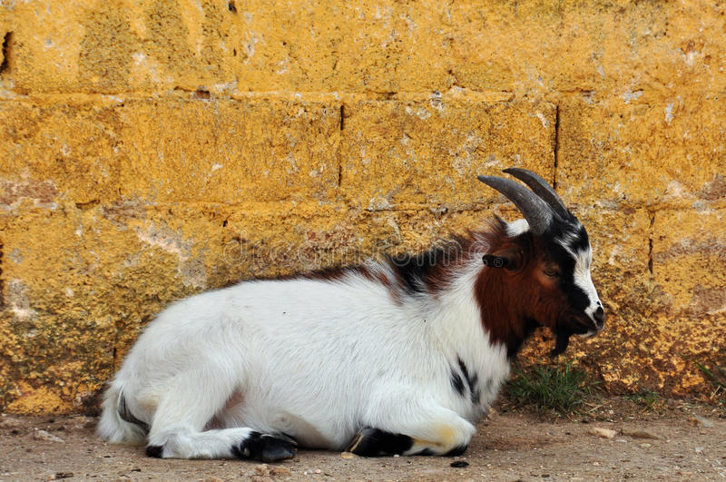 African pygmy goat. Resting against textured wall. Animal background stock photos