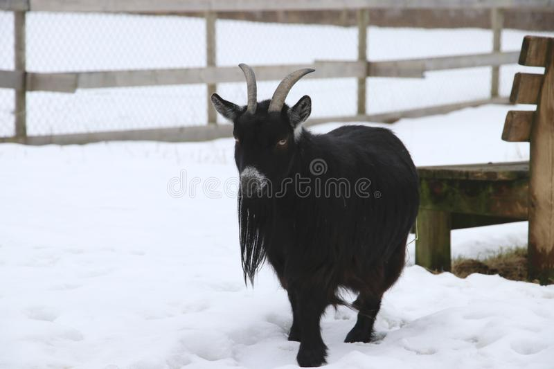 African pygmy goat. Walks in a snowy field a winter day in Sweden stock images