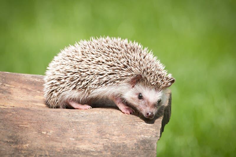 African pygmy hedgehog royalty free stock photo