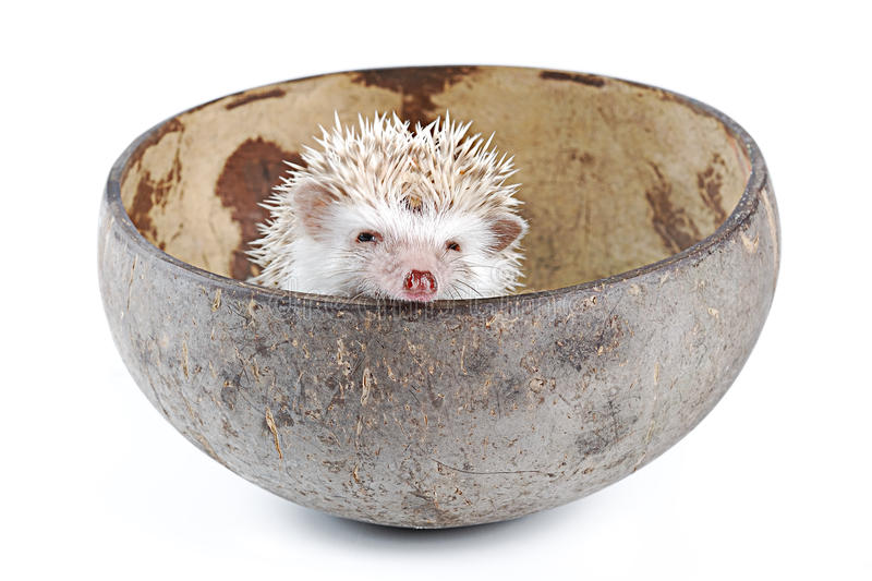 Download African pygmy hedgehog stock image. Image of ecology - 26517859