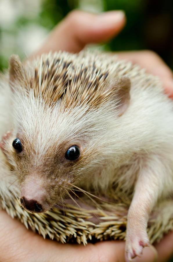 Download African Pygmy Hedgehog stock photo. Image of bristles - 27484420