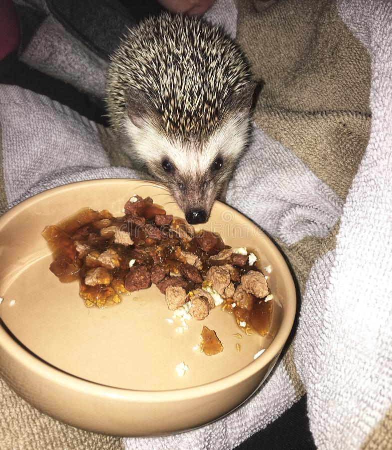 Pygmy hedgehog eating. African Pygmy hedgehog eating at night, cute exotic pet royalty free stock image