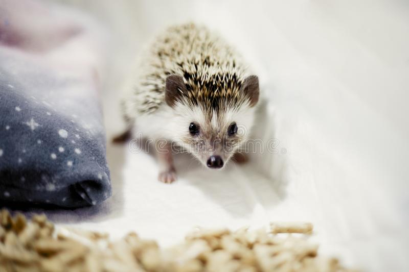 African pygmy hedgehog in his house. On a white background. Cute thorns royalty free stock photo