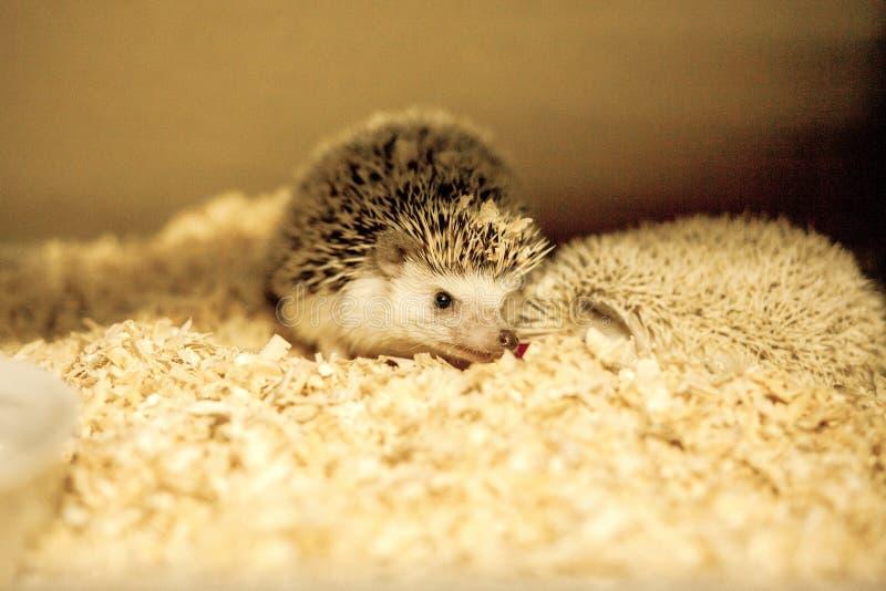 African pygmy hedgehog in sawdust. Focus on hedgehog`s head.  royalty free stock photography