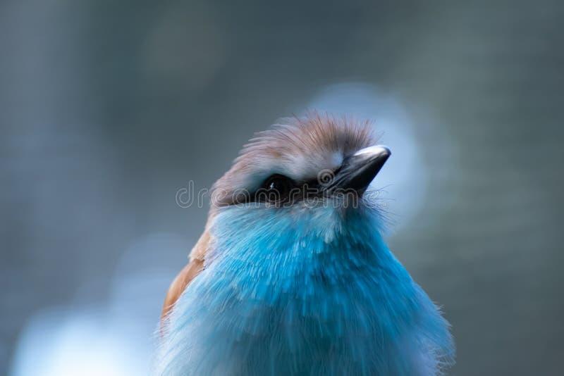 African Racket Tails Roller Bird royaltyfri foto