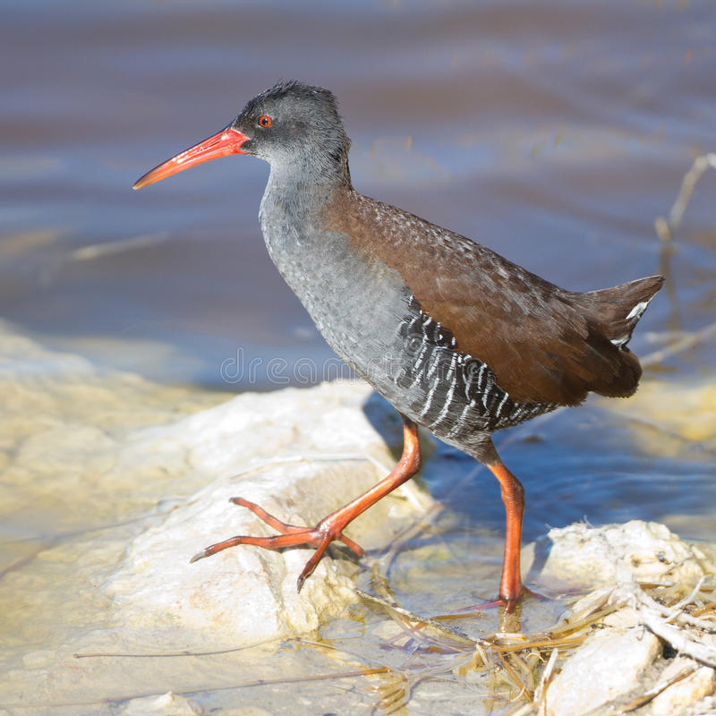 Download African Rail stock image. Image of rail, wetland, bird - 21709153