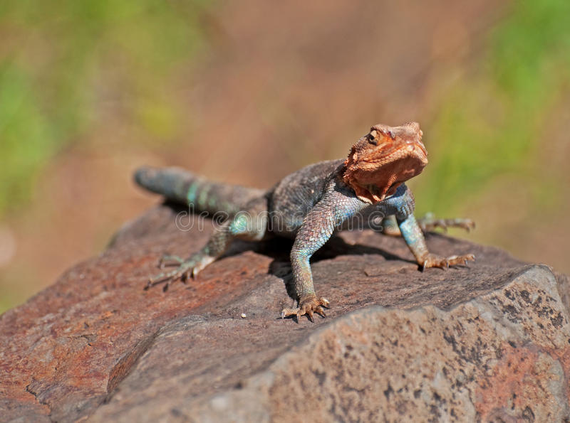 African Rainbow Lizard royalty free stock images
